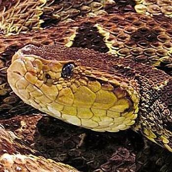 reptiles-anfibios-parque-nacional-tikal-serpiente-barba-amarilla