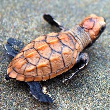 tortugas-marinas-guatemala-conservacion-conap-dia-mundial
