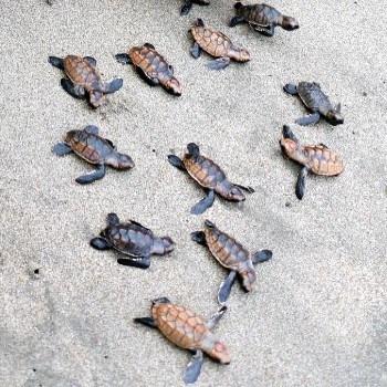 tortugas-marinas-guatemala-conservacion-dia-mundial-tortugarios