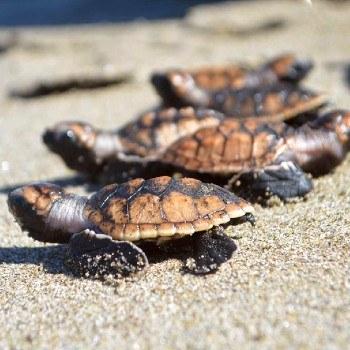 tortugas-marinas-guatemala-dia-mundial-archie-carr