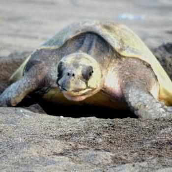tortugas-marinas-guatemala-parlama