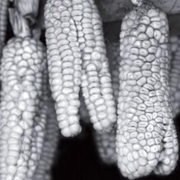 ceremonial-pregon-danza-paach-san-pedro-sacatepequez-san-marcos-guatemala-maiz-mazorcas-unidas