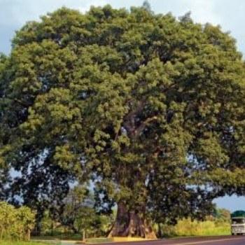 tipos-bosques-guatemala-ceiba