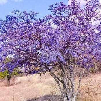 tipos-bosques-guatemala-guayacan