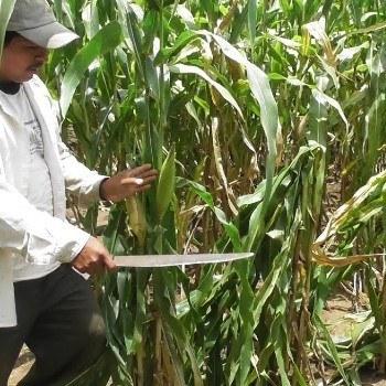 dia-nacional-maiz-guatemala-cultivo-produccion-patrimonio