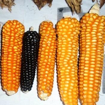 dia-nacional-maiz-guatemala-decreto-13-2014