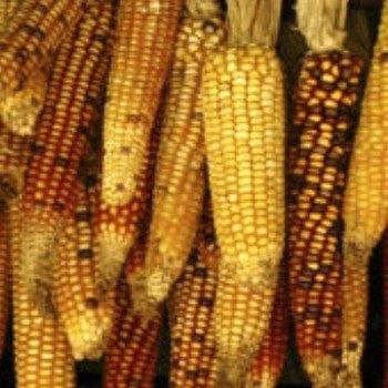 dia-nacional-maiz-guatemala-fomentar-promocion-conservacion-divulgacion-mineduc