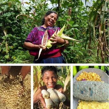 dia-nacional-maiz-guatemala-medidas-proteccion-conservación