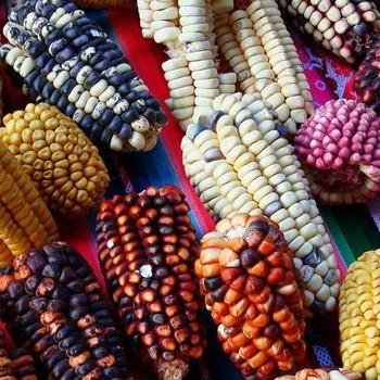 maiz-patrimonio-cultural-nacion-guatemala-tipos-colores