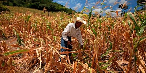 Agricultura en Guatemala - Foto Diario de Centro América
