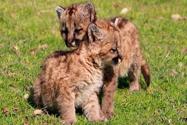Descripción de foto - Pumas cachorros en la naturaleza, de color café con manchas oscuras. - Crédito - Notife