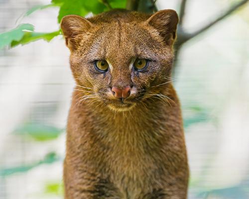 Descripción de la foto - Cachorro Jaguarundi de color marrón, viendo fijamente a la cámara. - Crédito - México Desconocido