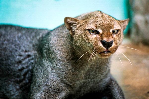 Descripción de la foto - Jaguarundi de frente, en cautiverio, viendo en dirección a la cámara. - Crédito - Animals Town