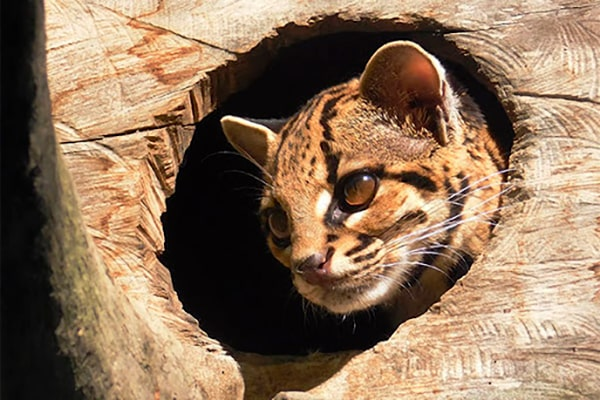 Descripción de la foto - Margay dentro del hueco de un tronco de árbol. - Crédito - tumamifero. com