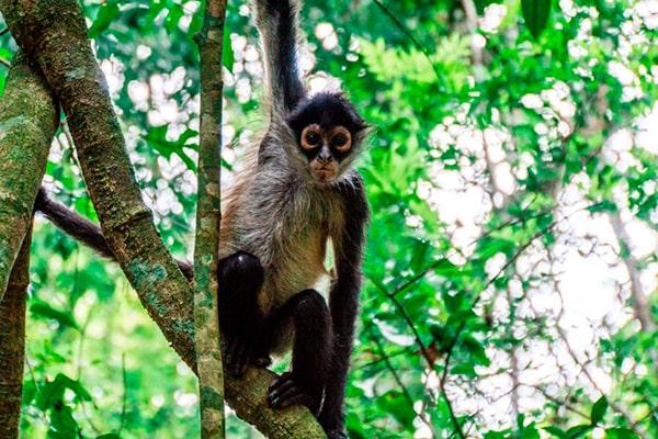 Descripción de la foto - Mono araña, colgado de un árbol, viendo directamente hacia la cámara. - Crédito - Soy nómada