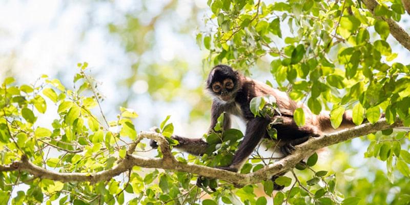 Descripción de la foto - Mono araña colgado de un árbol viendo fijatemente a la cámara. - Crédito - FLAAR Mesoamérica
