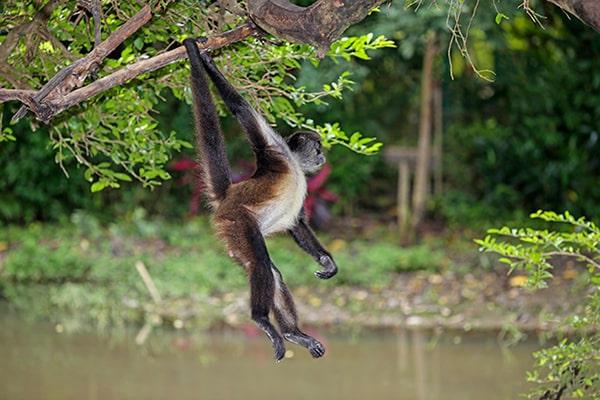Descripción de la foto - Mono araña saltando de un árbol al otro con su cola prensil. - Crédito - Animals