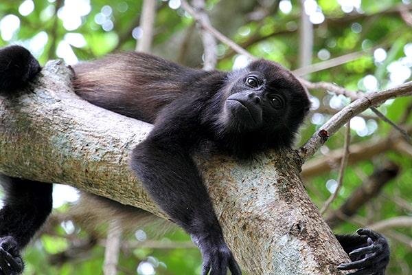 Descripción de la foto - Mono aullador recostado en la rama de un árbol viendo directamente a la cámara. - Crédito - Cephas