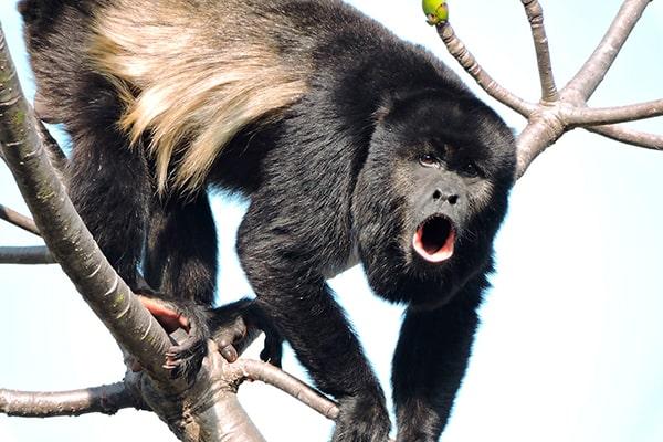 Descripción de la foto - Mono aullador sobre una rama de árbol aullando en dirección hacia la cámara. - Crédito - bioweb.bio