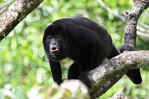 Descripción de la foto - Mono aullador sobre una rama de árbol aullando en dirección hacia la cámara. - Crédito - elbibliote. com