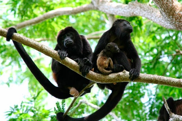 Descripción de la foto - Pareja de monos aulladores colgados de un árbol junto con su cría. - Crédito - Atom