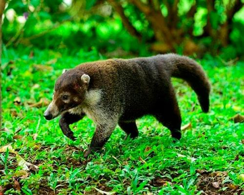 Descripción de la foto - Pizote caminando en medio de la naturaleza. - Crédito - Tripadvisor