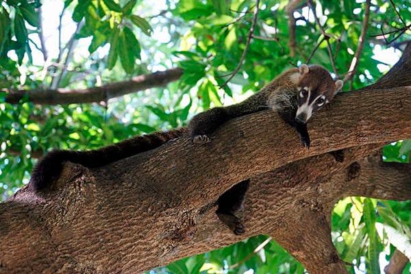 Descripción de la foto - Pizote colgado en un árbol, descansando, viendo en dirección a la cámara. - Crédito - Glacex
