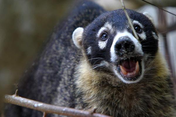 Descripción de la foto - Pizote en la naturaleza, con la boca abierta, viendo directamente a hacia la cámara. - Crédito - Tico Times