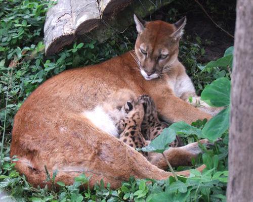 Descripción de la foto - Puma hembra dando de amamantar a sus cachorros, en cautiverio, rodeda de árboles y vegetación. - Crédito - Ministerio del Ambiente y Agua de Ecuador