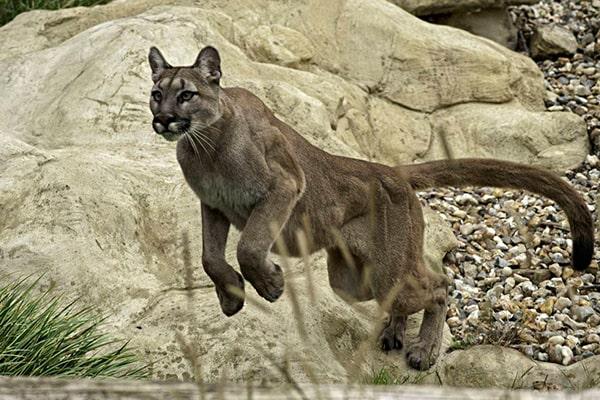 Descripción de la foto - Puma impulsándose contra una piedra con sus patras traseras. - Crédito - Cadena SER