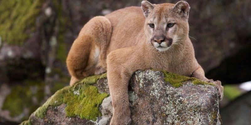 Descripción de la foto - Puma recostado sobre una piedra, rodeado de vegetación y piedras. - Crédito - RPP