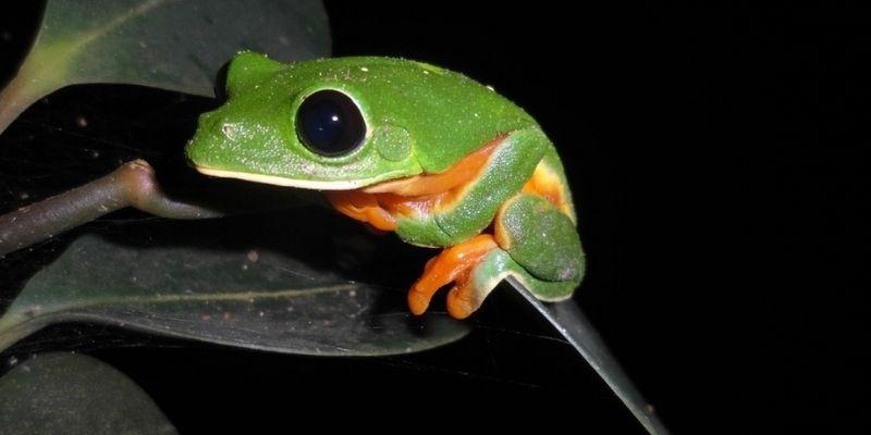 Descripción de la foto - Rana verde de ojos negros colgada en una hoja en la oscuridad. - Crédito - Naturalista Colombia
