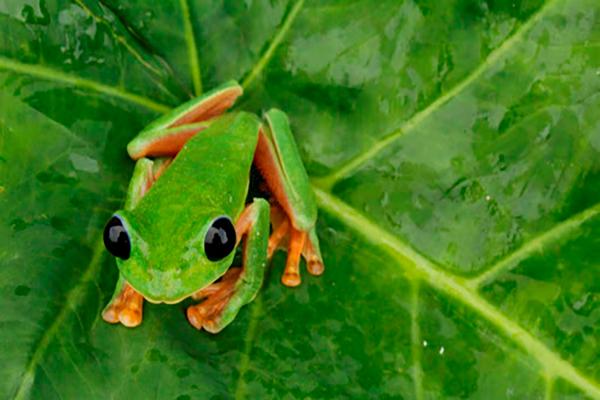 Descripción de la foto - Rana verde de ojos negros sobre una hoja viendo hacia la cámara. - Crédito - Fotoweb 8.0