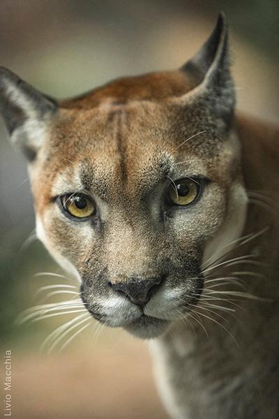 Descripción de la foto - Retrato de un puma viendo en direccion a la cámara. - Crédito - Livio Macchia
