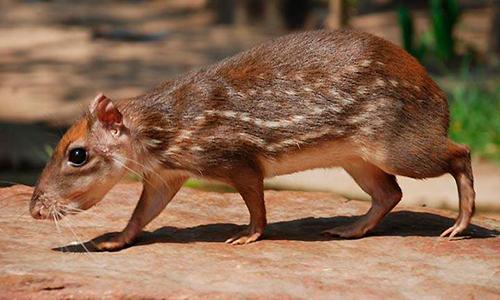 Descripción de la foto - Teplezcuintle, en cautiverio, caminando entre la naturaleza. - Crédito - Wild animals photography