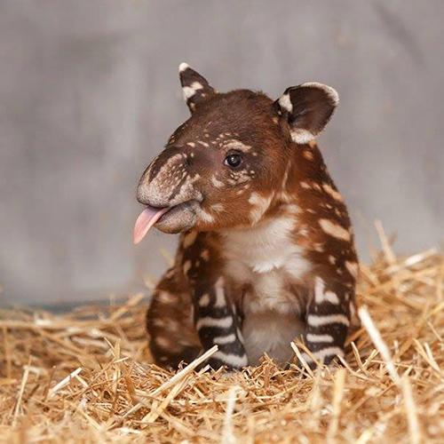 Descripción de la foto - cría de tapir en cautiverio frente a la cámara - crédito Conservación del Tapir Centroamericano