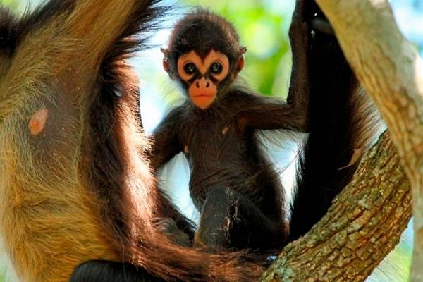 Descripción de la foto - cría mono araña resguardado en el estómago de su madre, mientras ella cuelga de manos y pies de la rama de un árbol. - Crédito - cumbres pueblos