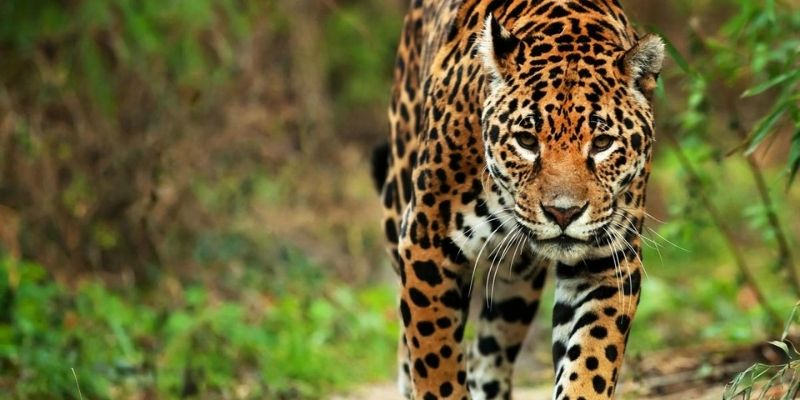 Descripción de la foto - el jaguar en caminando en su hábitat natural con vista a la cámara - Foto Wild For Life
