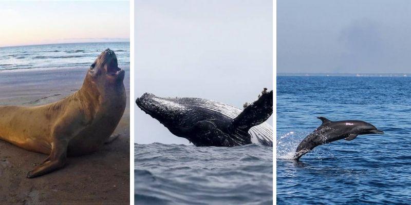 Descripción de la foto elefante marino en la playa, ballena vista en mar abierto y delfines vistos en mar abierto en Guatemala - Crédito fuentes varias