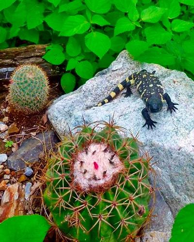 Descripción de la foto - heloderma sobre una piedra, junto a un cáctus y flores dentro de la Reserva Natural Privada Heloderma en Zacapa - Foto @Rocket1Queen666