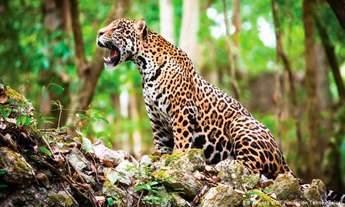 Descripción de la foto - jaguar hembra con sus crías con vista hacia la cámara - Foto Deutsche Welle
