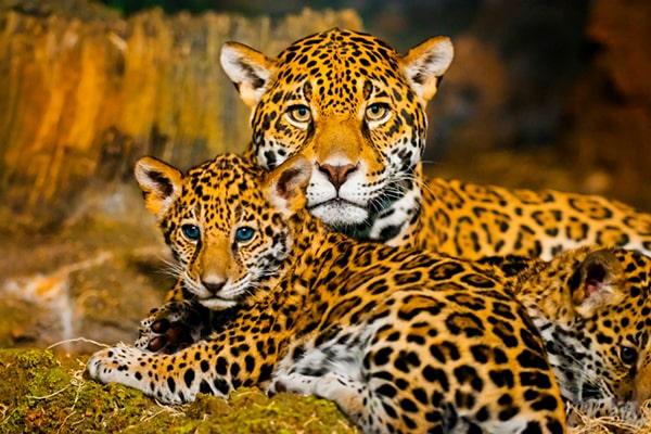Descripción de la foto - jaguar hembra con sus crías con vista hacia la cámara - Foto Fundación Carlos Slim