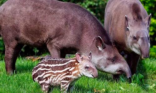 Descripción de la foto - pareja de tapires con su cría en el bosque - crédito Animales en peligro de extinción blogger