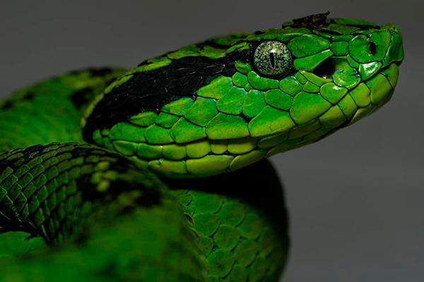 Descripción de la foto - serpiente cantil verde colocada de perfil para observar las escamas y el color verde de sus ojos- Crédito - Reptiles of Guatemala