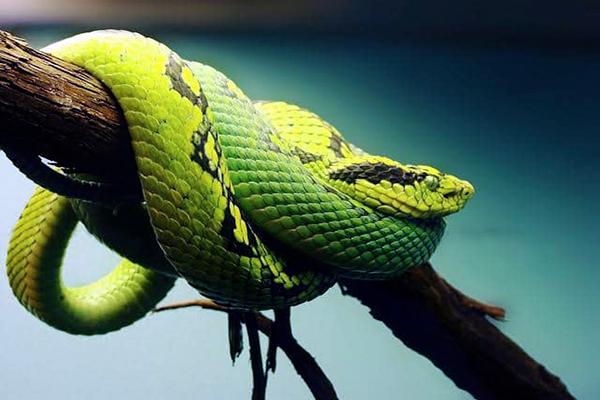 Descripción de la foto - serpiente cantil verde colocada de perfil, sobre las ramas de un árbol - Crédito - Mexican Planet