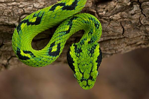 Descripción de la foto - serpiente cantil verde viendo hacia abajo, mostrando el color de su piel y manchas - Crédito - Pete Oxford