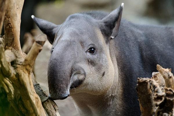 Descripción de la foto - tapir viendo en dirección a la cámara - crédito Andrés Li Feng