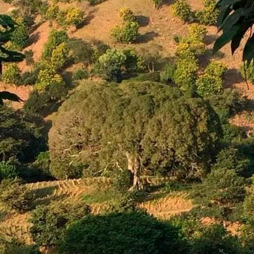 Historia de la Ceiba pentrada de Chiquimula - descripción de la foto - Vista de la Ceiba de Chiquimula al pie del campo - crédito Río Dulce - Facebook