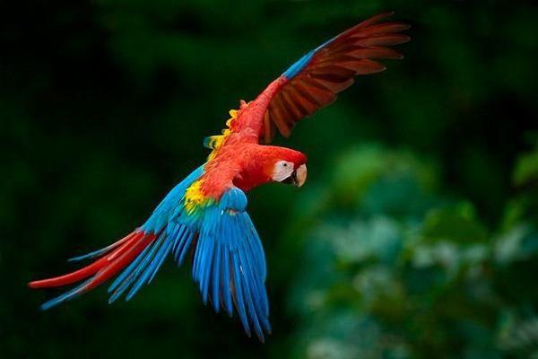 La Guacamaya Roja en Guatemala - foto - Andre Baertschi