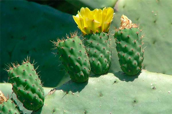 Descripción de foto - Acercamiento a la flor del nopal, de color amarillo con espinas. - Crédito de foto - Sheldon Navie